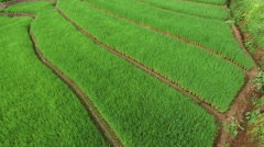 Stock Video Footage of Green Terraced Rice Field in Chiangmai