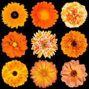 Stock Photo of Selection of Various Orange Flowers Isolated on Black