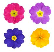 Four Colorful Primroses Flowers Isolated - stock photo