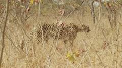 Stunning Tracking shot of a Cheetah Walking (5) - Slow Motion Stock Footage