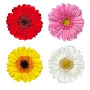 Four Fresh Gerbera Flowers Isolated on White - stock photo