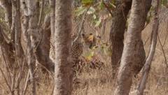Stunning Tracking shot of a Cheetah Walking (6) - Slow Motion Stock Footage