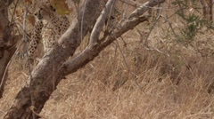 Stunning Tracking shot of a Cheetah Walking (7) - Slow Motion Stock Footage