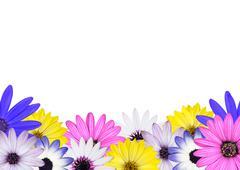 Row of Multi Colored Various Osteosperum Daisy Flowers - stock photo