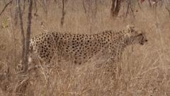 Stunning Tracking shot of a Cheetah Walking (8) - Slow Motion Stock Footage