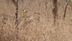 Stunning Tracking shot of a Cheetah Walking (9) - Slow Motion Stock Footage