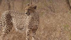 Stunning Tracking shot of a Cheetah Walking (12) - Slow Motion Stock Footage