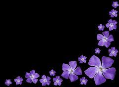 Periwinkle purple flowers - Vinca minor - isolated on Black - stock photo
