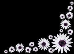Group of Osteospermum Asti White Purple Daisies on Black background - stock photo