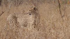 Stunning Tracking shot of a Cheetah Walking (13) - Slow Motion Stock Footage