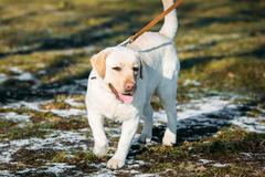 Beautiful White Labrador Retriever Lab Dog Walking Outdoor In Au - stock photo