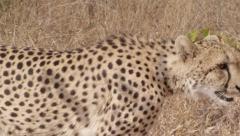 Stunning Tracking shot of a Cheetah Walking (14) - Slow Motion Stock Footage