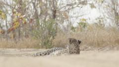 Cheetah Relaxing on Hot Day (4) - Slow Motion Stock Footage