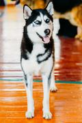 Young Black And White Husky Eskimo Dog Staying On Wooden Floor Stock Photos