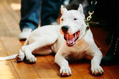 Young White Dogo Argentino Dog laying On Wooden Floor Stock Photos