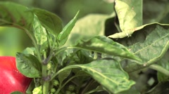 Farmer field with ripe red and green pepper harvesting Stock Footage