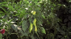 The fremer checks ripeness of pepper in the field Stock Footage