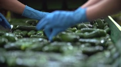 Hands of the farmer sort cucumbers on a conveyor tape Stock Footage