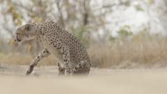 Cheetah Relaxing on Hot Day (6) - Slow Motion Stock Footage
