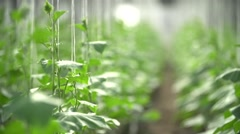 the accurate farmer greenhouse with cucumbers during blossoming - stock footage