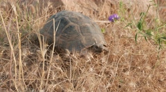 Lonesome tortoise 4k Stock Footage