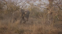 Young Elephant Flapping Ears (1) Stock Footage