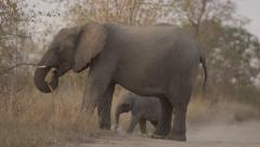 Baby Elephant Plays between Mothers Legs - Slow Motion - (1) Stock Footage
