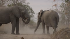 Elephant Herd Throwing Dust on there Backs - Slow Motion - (1) - stock footage