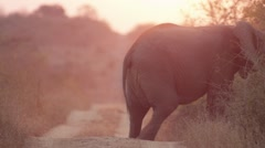 Elephant Walking into Bush in Beautiful Sunset Light- Slow Motion - (2) Stock Footage