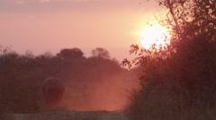 Elephant Walking in Bush in Beautiful Sunset Light- Slow Motion - (3) Stock Footage