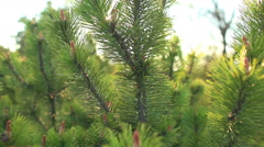 Young sprout of spruce Stock Footage