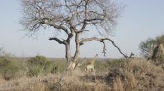 Giraffes under Tree - Slow Mo Stock Footage