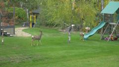 Family Of Wild White Tail Deer In Back Yard Garden Swings Slow Motion Stock Footage
