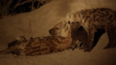 Mother Hyena Guarding her young pups Stock Footage