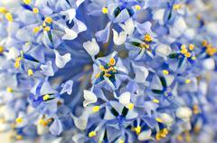 Ceanothus blue shrub flower Background Stock Photos