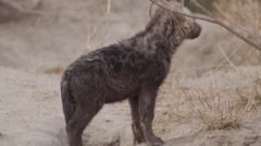 Hyena Pup by Den - Close Up Stock Footage
