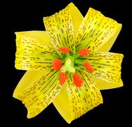 Yellow Asiatic lily with Black Spots Isolated on Black - stock photo