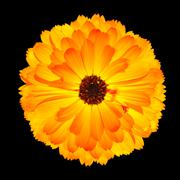 Isolated Flowehead of Blossoming Orange Pot Marigold Flower - stock photo