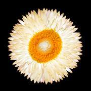 Single White Everlasting Flower Isolated - stock photo