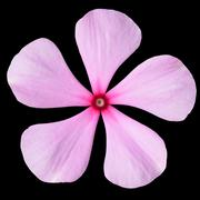 Pink Periwinkle Flower with Red Center Isolated - stock photo
