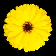 Yellow Pot Marigold Flower in Full Bloom Isolated Stock Photos