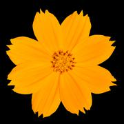 Yellow Singapore Daisy Wildflower Isolated on Black Stock Photos