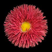 Red Perennial Daisy Flower Head with Yellow Center Isolated Stock Photos