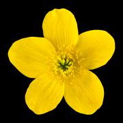Marsh Marigold Yellow Flower Isolated on Black Stock Photos