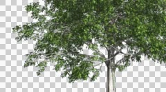 European Beech Chromakey Isolated Tree Chroma Key Alfa Alfa Channel Green Stock Footage