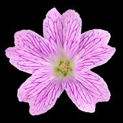 Pink Wildflower Isolated on Black Stock Photos