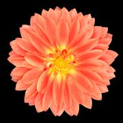 Red Pot Marigold Gerbera Flower Isolated on Black Stock Photos