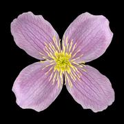 Clematis Pink Flower with Yellow Center Isolated Stock Photos