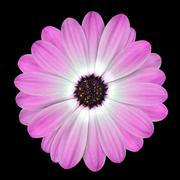 Pink Osteospermum Daisy or Cape Daisy Flower Isolated - stock photo