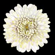 Blossoming White Strawflower Isolated on Black Background - stock photo
